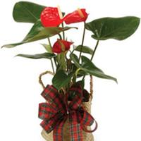 Living Gifts - Plants flowers delivery - Flowers Auckland
