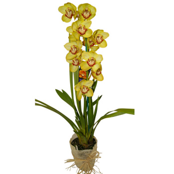 Cymbidium Orchid Plants in season now, Flowers Auckland Florist flowers delivery - Flowers Auckland