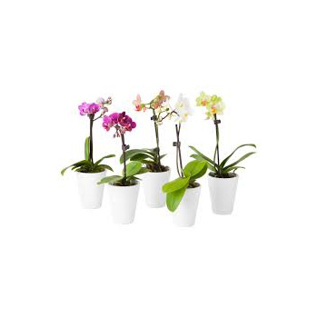 Small coloured Phalaenopsis Pot Plants for Auckland Flower Delivery flowers delivery - Flowers Auckland