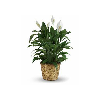 Peace Lily Plant so suited for a lot of occasions flowers delivery - Flowers Auckland