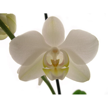 Phalaenopsis Orchid Plants elegant long lasting plants Flowers Auckland flowers delivery - Flowers Auckland