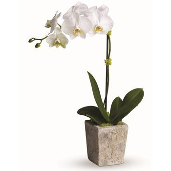 Phalaenopsis Orchid Plants are stunning - Flowers Delivery flowers delivery - Flowers Auckland
