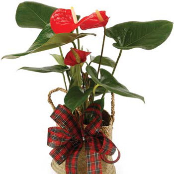 Flowering Anthurium Pot Plant - flowers delivery flowers delivery - Flowers Auckland