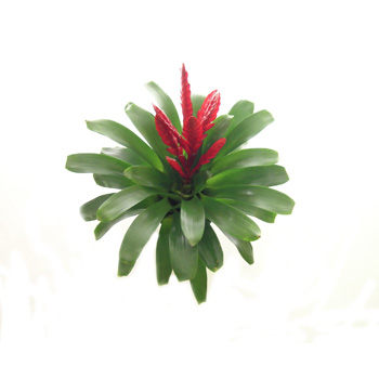Bromeliads flowers delivery - Flowers Auckland