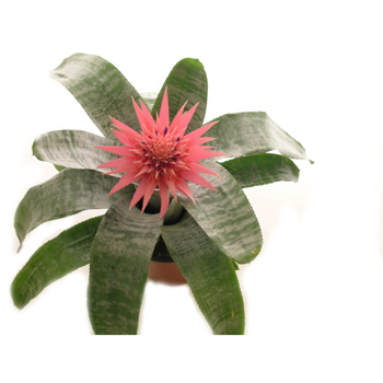 Exotic Bromeliads make a stunning gift from Flowers Auckland flowers delivery - Flowers Auckland
