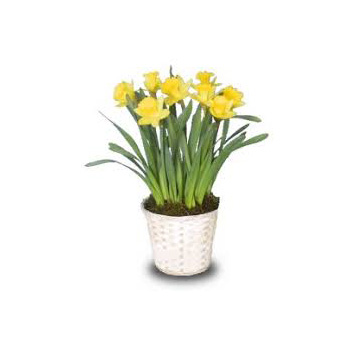 Sunny Daffodils in a pot are perfect for sending at Flowers Auickland flowers delivery - Flowers Auckland