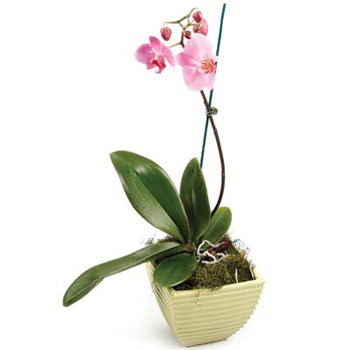 Pink Phalaenopsis Orchid for Auckland flower delivery flowers delivery - Flowers Auckland